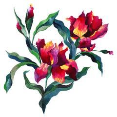 Fototapeta Vintage Bouquet with iris flowers, Botanical Hand drawn Watercolor Aquarelle Illustration