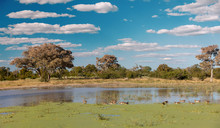 Beautiful Green Landscape In The Moremi Game Reserve After Rain Season, On Pond Water Swim Bird Egyptian Goose, Okavango Delta, Botswana, Africa Wilderness