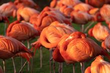 Flamingo Flamingos Zoo Köln Gruppe