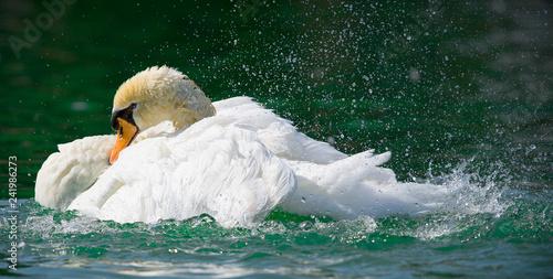 Fotografie, Obraz  The White Swan