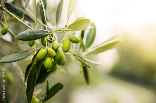 Green Olives on Tree, Italy