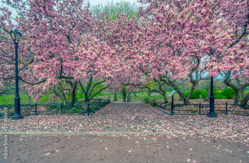 Staande foto Magnolia Central Park, New York City in spring
