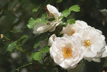 Delicate Flowering Shrub With ...