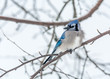 Blue Jay Perched in a Woody Area of Birch and Aspen in Lamarche, Quebec, Canada