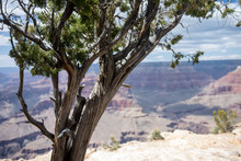 Large Juniper Tree At The Sout...