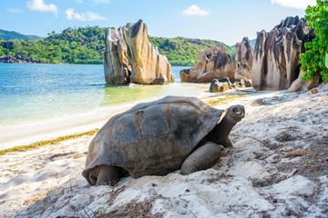 Aldabra giant tortoise, Turtle in Seychelles on the beach near to Praslin