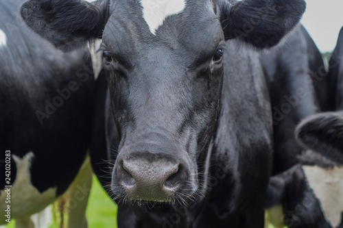 Fototapety, obrazy: Headshot of a dairy cow