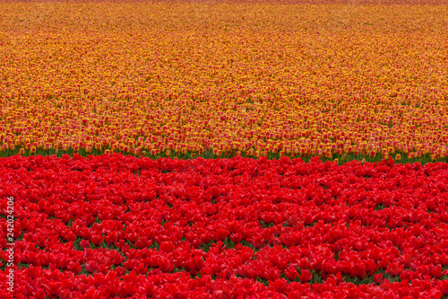 Fotografie, Obraz  colourful floral scenic background of orange and red dutch tulip flowers