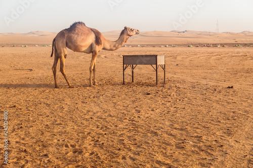 Spoed Foto op Canvas Wild Camels in the desert