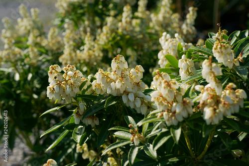 Valokuva Pieris japonica Debutante