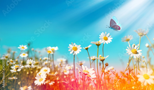 In de dag Madeliefjes Chamomiles daisies macro in summer spring field on background blue sky with sunshine and a flying butterfly, close-up macro. Summer natural landscape with copy space.