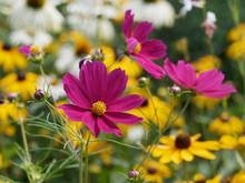 Cosmos Bipinnatus. Fleurs De Cosmos Bipenné Ou Cosmos Des Jardins Aux Capitules De Couleur Rose Foncé