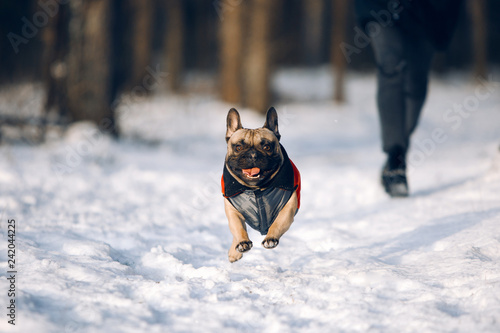 French bulldog puppy in jacket is running at the snow - Buy this