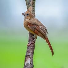 Fledgling Cardinal