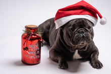 Cute Blue French Bulldog Wearing Santa Claus Hat And Standing To A Wishes Jar. Believe In The Magic Of Christmas Text Shot In Studio Against White Background