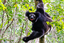 Beautiful Image Of The Indri L...