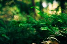 Maidenhair Ferns In The Forest