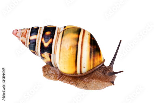 Fotografie, Obraz  Liguus Tree Snail: Liguus fasciatus crawling on white background