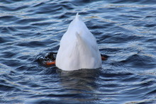 White Duck Bottoms Up With Fac...