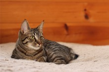 Manx Cat Relaxing On A Dog Bed