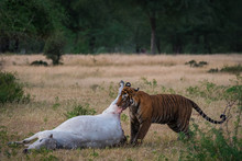 Tiger In Nature Habitat And Killed Cow In Jungle.Wildlife Scene With Danger Animal.Hot Summer In Rajasthan, India. Dry Trees With Beautiful Indian Panthera Tigris At Ranthambore National Park