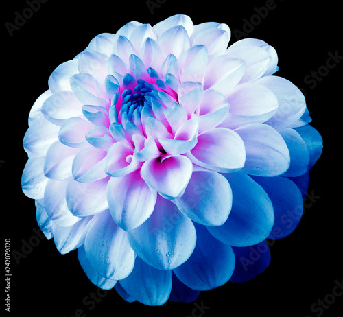 flower white-blue dahlia black isolated background with clipping path. Dew on petals.