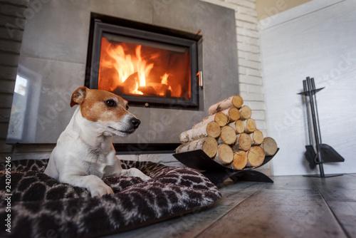 Fotografie, Obraz  Jack russel terrier sleeping on a white rug near the burning fireplace