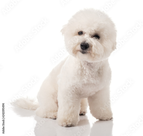 Bichon Frise puppy  Bichon is isolated on a white background