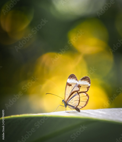 Fototapeta  Glass wing butterfly