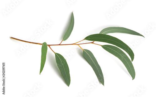 Obraz Eucalyptus - fototapety do salonu