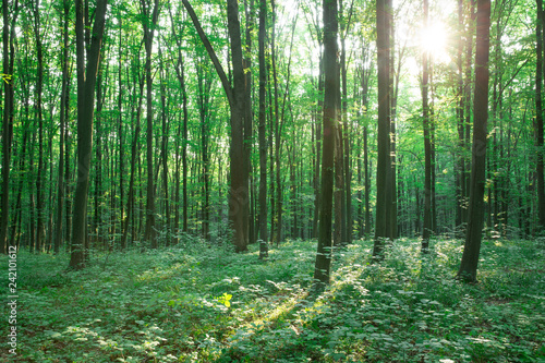 Foto op Canvas Weg in bos Forest trees. nature green wood sunlight backgrounds