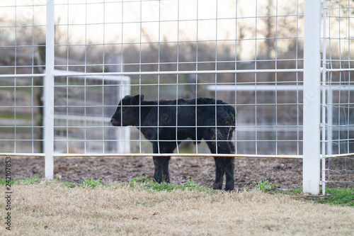 Photo  Young Angus calf in a fence, black Angus heifer