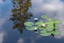 Group Of White Water Lilies Floating In Blue Water