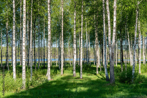 Grove of birch trees in summer sunlight