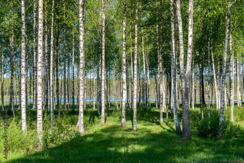 Grove of birch trees in summer sunlight
