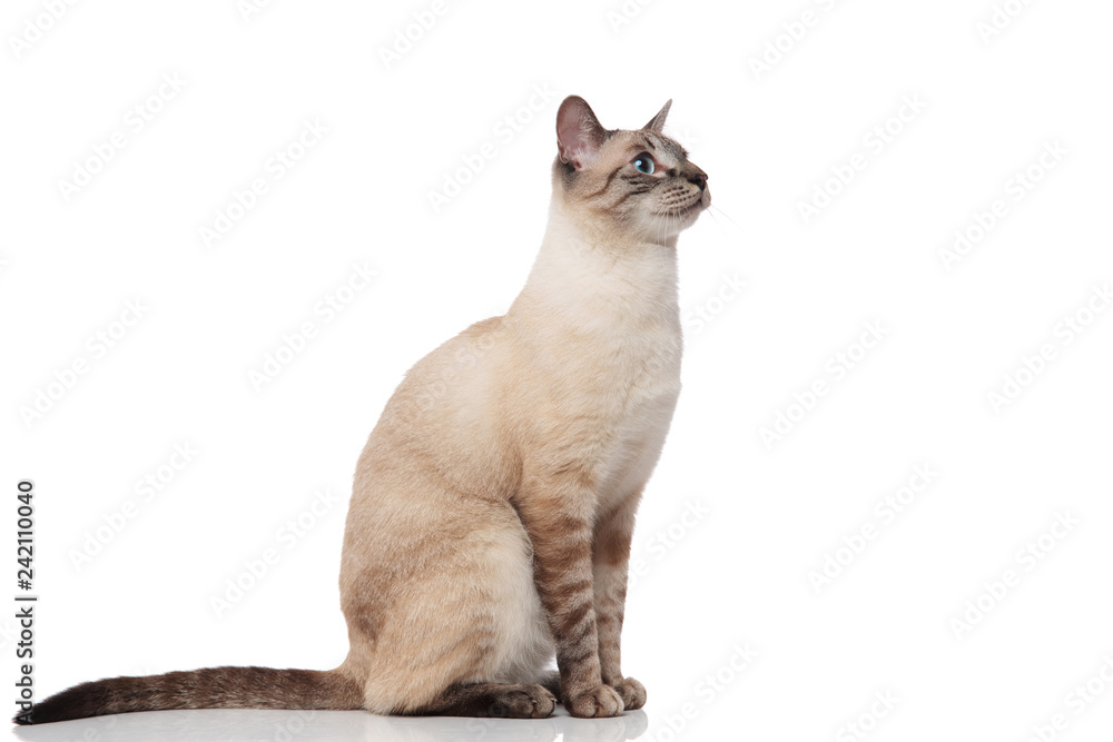 Fototapety, obrazy: side view of seated burmese cat with blue eyes