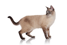 Side View Of Grey Burmese Cat Standing And Looking Behind