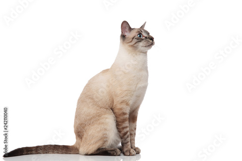 Cadres-photo bureau Chat side view of seated burmese cat with blue eyes