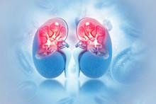Human Kidney Cross Section On ...