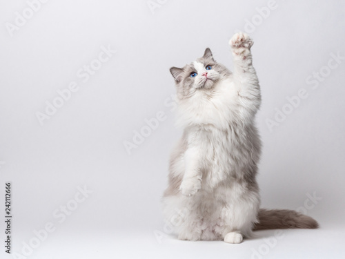 Keuken foto achterwand Kat A beautiful male blue bicolor Ragdoll purebreed cat on a white background.