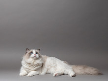 A Beautiful Cute Female Blue Bicolor Ragdoll Purebreed Cat On A Gray Background.