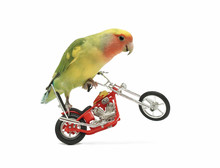 A Peach-faced Lovebird On A Toy Motorcycle Doing A Wheelie, In White Setting.