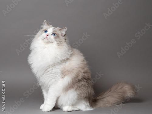 Valokuvatapetti A beautiful male blue bicolor Ragdoll purebreed cat on a gray background