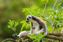 Ring-tailed Lemur Lemur Catta ...