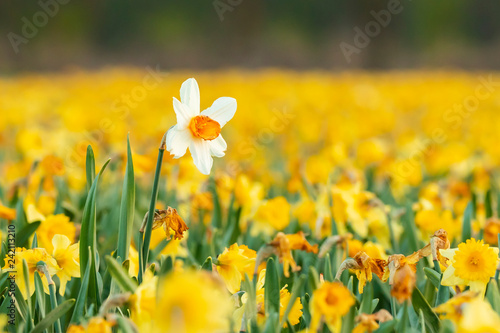 Canvas Prints Narcissus Colorful blooming flower field with yellow Narcissus or daffodil closeup during sunset.