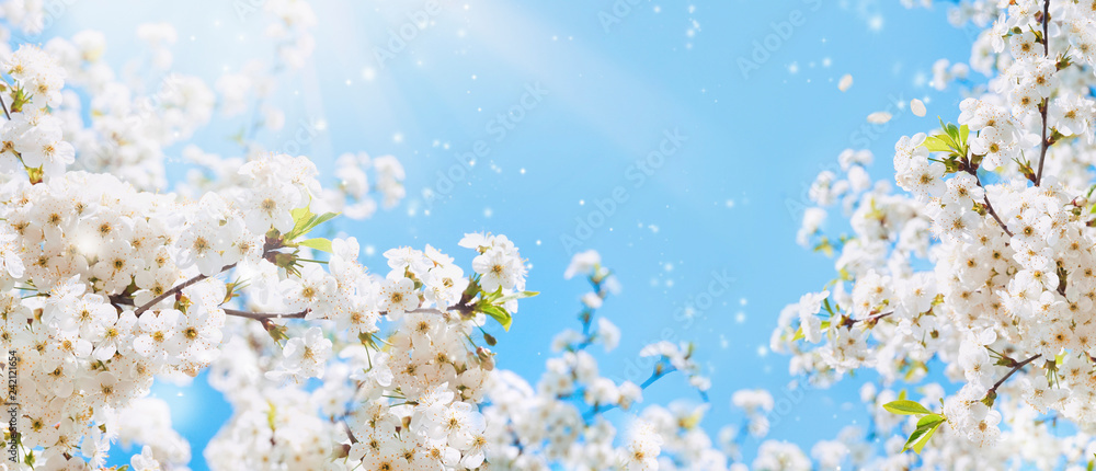 Fototapeta Branches of blossoming cherry macro with soft focus on gentle light blue sky background in sunlight with copy space. Beautiful floral image of spring nature.