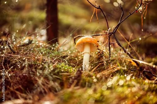 Fotografía  Amanita muscaria, Fly agaric Mushroom In a Sunny forest in the rain