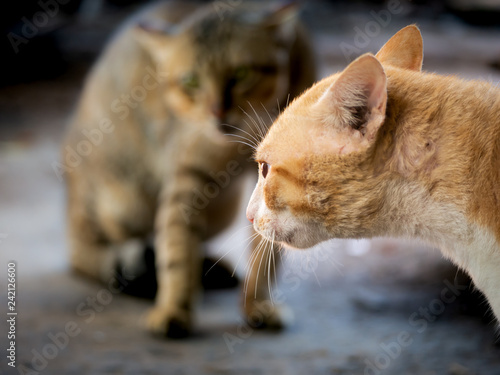 Fotografija  Yellow Cat Threatening The Invading Cat