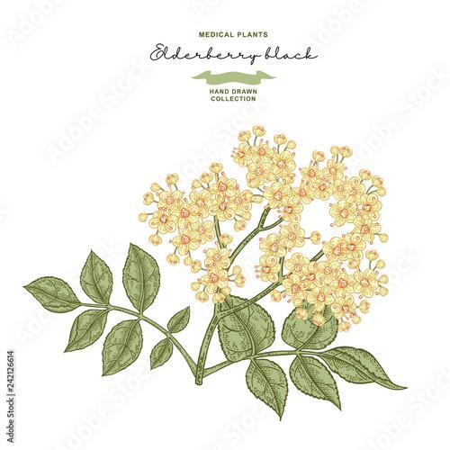 Foto  Elderflower branch isolated on white background