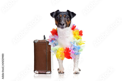 Fotografie, Obraz  Standing jack russel terrier ready for the holiday